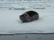 Seal on ice Royalty Free Stock Photography
