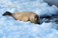 Seal on ice. Seal looking for food on ice Stock Photography