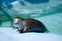Free Seal In Captivity In Zoo Royalty Free Stock Images - 14893689