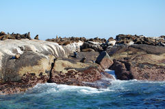 Seal Island Colony Stock Photos