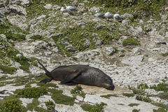 Seal in Kaikoura, New Zealand Royalty Free Stock Photo