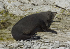 Seal in Kaikoura, New Zealand Stock Images