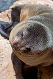 Seal on kangaroo island Fotografie Stock