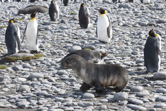 Seal and king penguins Royalty Free Stock Photo