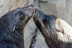 Seal Kiss. Cape Fur Seals with long whiskers kissing Stock Photography