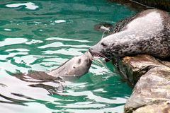 Seal kiss Royalty Free Stock Image