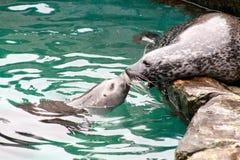 Seal kiss Royalty Free Stock Image