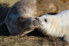 Seal kisses Royalty Free Stock Photo