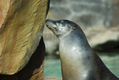 Seal Kissing Rock Royalty Free Stock Image