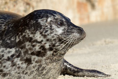 Seal in La Jolla Royalty Free Stock Images