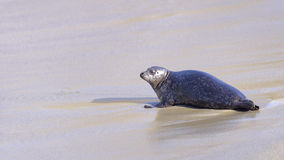 Wild Seal Stock Images