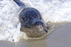 Seal in La Jolla Royalty Free Stock Photography