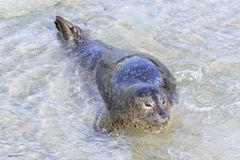 Seal in La Jolla Stock Photography