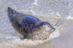 Seal in La Jolla Stock Photo