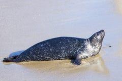 Seal in La Jolla Royalty Free Stock Photos