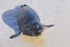 Seal on beach Royalty Free Stock Photos