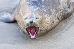 Seal in La Jolla Royalty Free Stock Photos