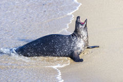 Seal in La Jolla Royalty Free Stock Image