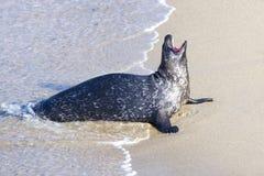 Seal in La Jolla Royalty Free Stock Image