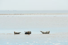 Seal laying in Dutch wadden sea Stock Images