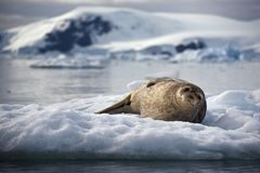 A seal laying on an iceberg in Antarctica. A seal laying on an iceberg in the sea in Antarctica Royalty Free Stock Photo