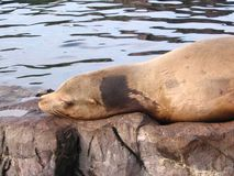 Seal lies on a stone and sleeps Royalty Free Stock Images