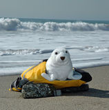Seal in life jacket stock image