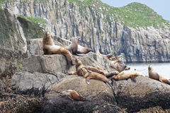 Seal lions. Scenic view of group of sea lions basking on rocky shoreline, Seward, Alaska, U.S.A Royalty Free Stock Photos