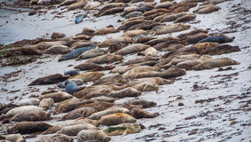 Seal lions lying on the beach in Monterey Stock Photos