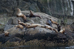 Seal lions on rock Stock Images