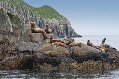 Seal lions on rocky shoreline. Group of sea lions basking on rocky shoreline, Seward, Alaska, America Stock Photos