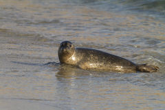 Seal on the beach Royalty Free Stock Photo
