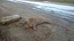 Seal. Lonely seal at Donna Nook Nature Reserve Royalty Free Stock Images