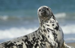 Seal looking Royalty Free Stock Images