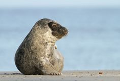 Seal looking Stock Photography