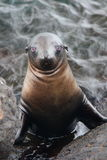 Seal looking at viewer Royalty Free Stock Images