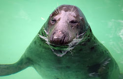 Seal looking from water Stock Photography