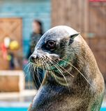 Seal looks cute Royalty Free Stock Images
