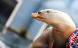 Seal looks to the side Stock Photography