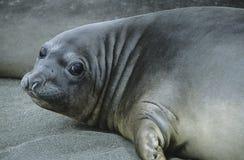Seal lying on beach Stock Photos