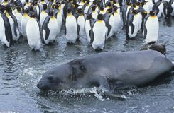 Seal lying beside Penguin colony Royalty Free Stock Images