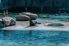Seal lying on the platform between rocks stock photo