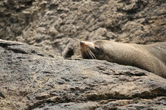 Seal Lying on a Rock. A seal on a rock in Doubtful Sound, Fiordland National Park, New Zealand Royalty Free Stock Images
