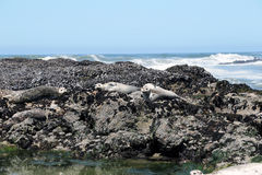 Seal lying on the rocks Stock Image
