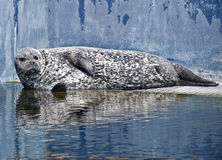 Seal lying in the sun. Mottled skin seal lying in the sun on the pool of an aquarium Stock Images