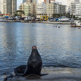 Seal lying in the sun in front of the yacht club Royalty Free Stock Image