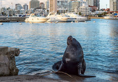 Seal lying in the sun. Maldonado, June, 3, 2016 - Seal lying in the sun in front of the yacht club in Punta del Este harbor, Uruguay Stock Photos