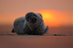 Seal lying at sunset, evening with ocean, animal in the sand beach, nature habitat, Dune Island, cute beautiful scene, Germany. Seal lying at sunset, evening Stock Photo