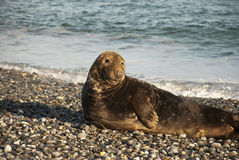 Seal m Beach. A seal on a stone beach Royalty Free Stock Photos