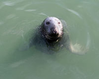 Seal mammal. Animal flippers whiskers Ireland Royalty Free Stock Photo
